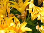 orange lillies